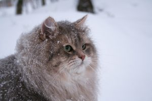 Courtesy of cattery Av Hoskogen, Kristin Eugenes in Norway.