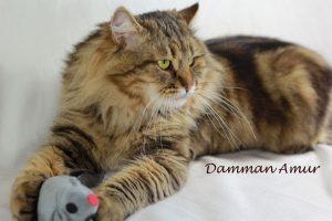 Siberian cat Rossity Irvin at Damman Amur cattery