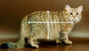 10. Visible body proportions of a Siberian.