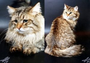 Helios Onix Gloria and Tsarevna Cecilia Seliger, cats used as the examples at FIFe SIB recognition Show in 1997.
