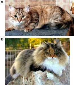 5. Correct (A) and incorrect (B) coat. (Clarification from PawPeds: picture 5B shows a Norwegian Forest Cat.)