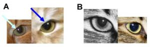 8. Incorrect (A) and correct (B) shape of the inner upper corner of the eye.