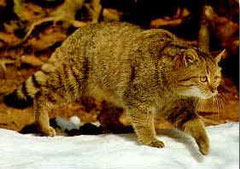 Felis silvestris - European wildcat