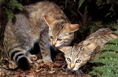 Felis lybica - African wildcat