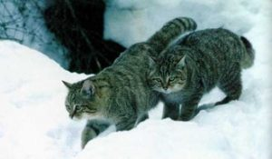 Felis Silvestris Caucasica - picture taken by Russian felinologists in Armenia