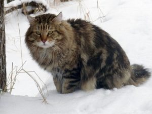 Siberian cat Chernomor Sibirskoe Ocharovanie