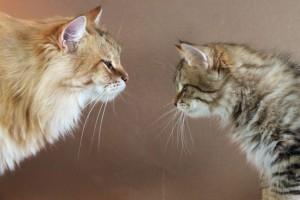 Stashkot Ahimsa lives at Damman Amur Cattery in France