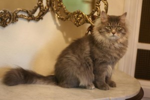 Merlin Onyx Gloria lives at Siestadream cattery in Spain
