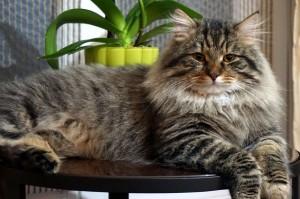 siberian cat Tayfun Adagio of Damman Amur