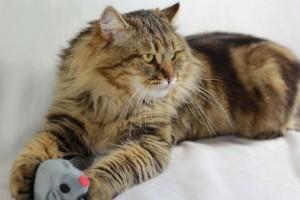 Siberian cat Rossity Irvin  of Damman Amur cattery in France