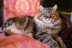 Siberian cat Rossity Irvin of Damman Amur
