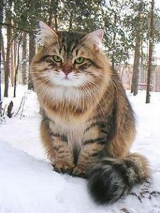 Siberian cat Eral Martin Valenvic