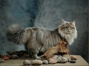 Gordi blue Siberian cat