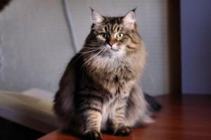 Siberian cat Quini Sibaris