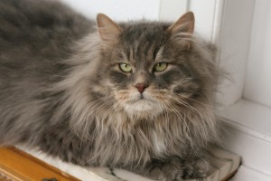 Merlin Onyx Gloria lives at Siestadream cattery in Spain774814 4779664421193 445768429 o
