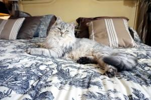 Siberain silver cat Damman Amur Jazz
