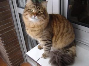 Siberian cat Aksamit Sibaris