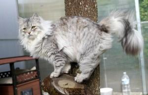 Silver Siberian cat Rossity Odessa of Damman Amur cattery in France