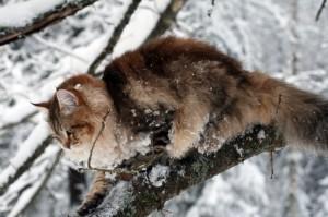 Siberian cat Amurin Andreas