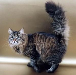 Siberian cat khariton Angara