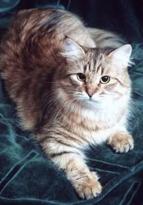 Siberian cat Vest Valenvic