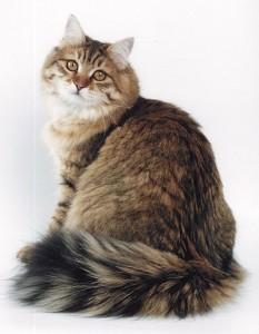 Siberian  cat Vorkuta
